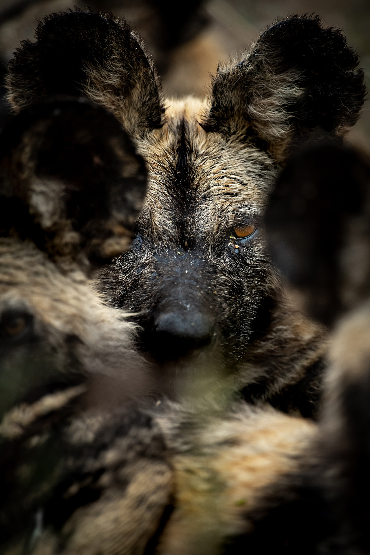 """The wolf amongst the sheep"" – a painted wolf (African wild dog) with its pack in Sabi Sands Private Game Reserve, South Africa © Ross Couper"