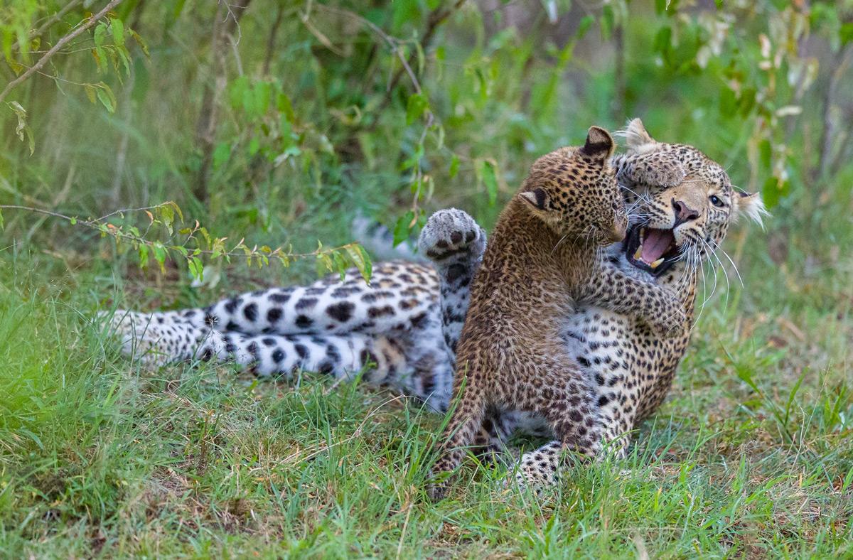A leopardess and her cub play in Maasai Mara National Reserve, Kenya © Ruzdi Ekenheim