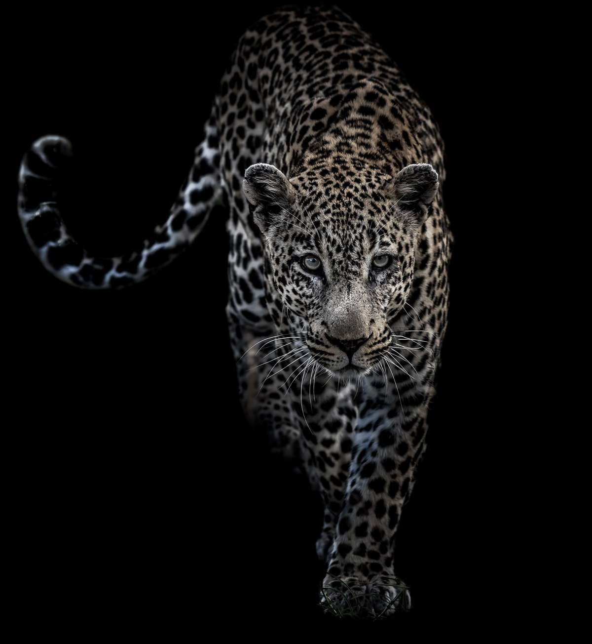A dominant male leopard approaches in Sabi Sands Private Game Reserve, South Africa © Saul Rivkind