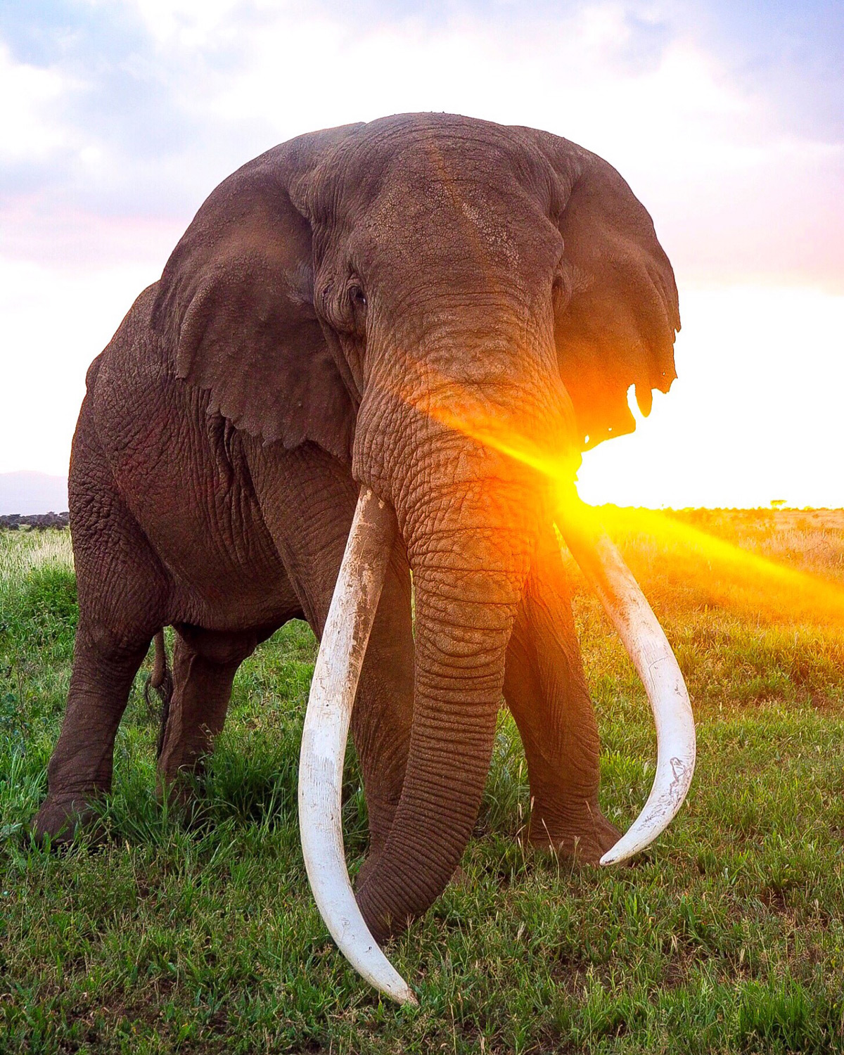 Tim, the magnificent big tusker, at sunset in Amboseli National Park, Kenya © Selengei Poole-Granli