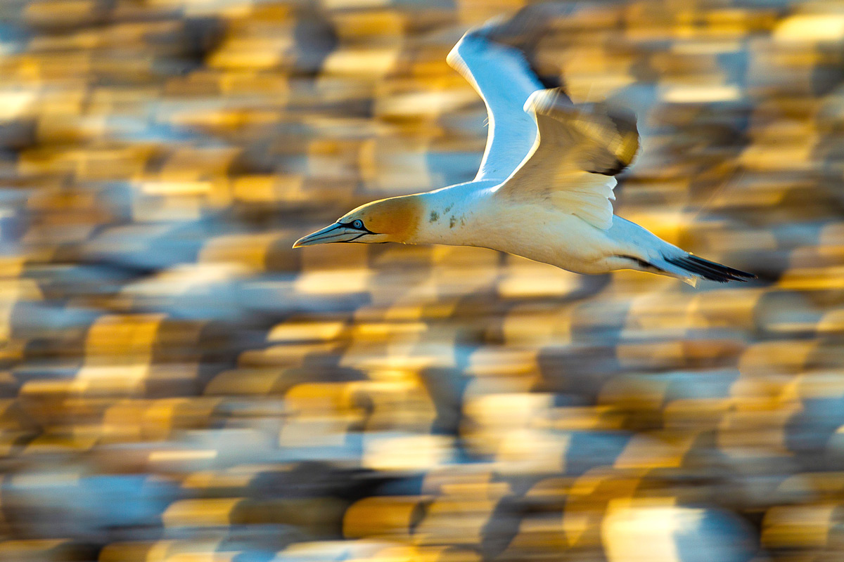 A Cape gannet flies by the colony in Lambert's Bay, South Africa © Simone Basini