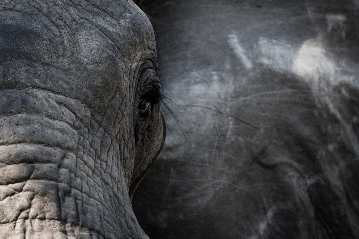 """""""A special moment when an elephant makes eye contact"""", Okavango Delta, Botswana © Stephanie-Emmy Klarmann"""