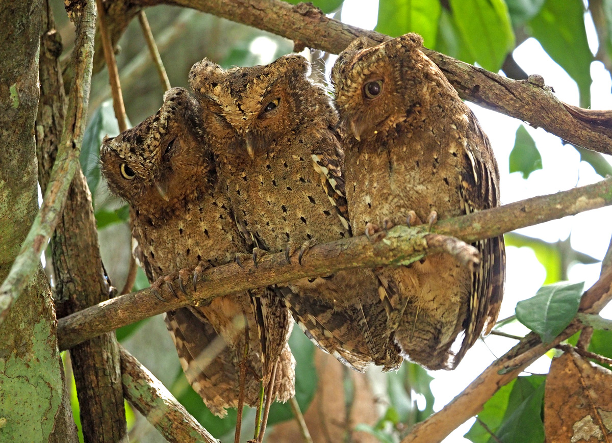 Endemic Sokoke scops owls roost together in Arabuko Sokoke Forest Reserve, Kenya © Steve Holroyd