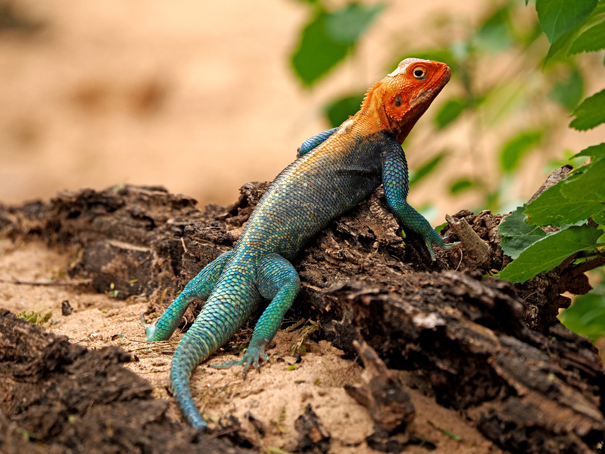 A brilliant male rock agama displays his amazing colours in Galana Conservancy, Kenya © Steve Holroyd