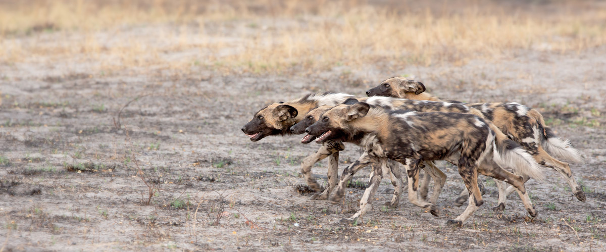 Painted wolves (African wild dogs) in Okavango Delta, Botswana © Thomas Retterath