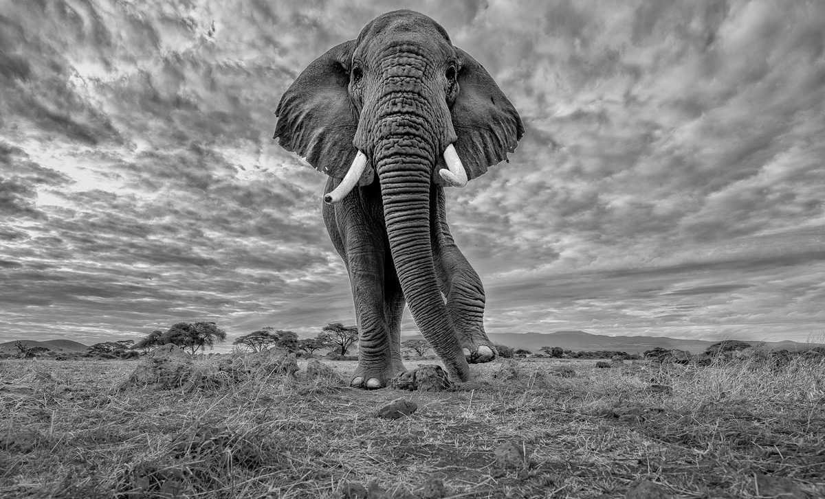 """Pride of Africa"" – an elephant in Amboseli National Park, Kenya © Thomas Vijayan"
