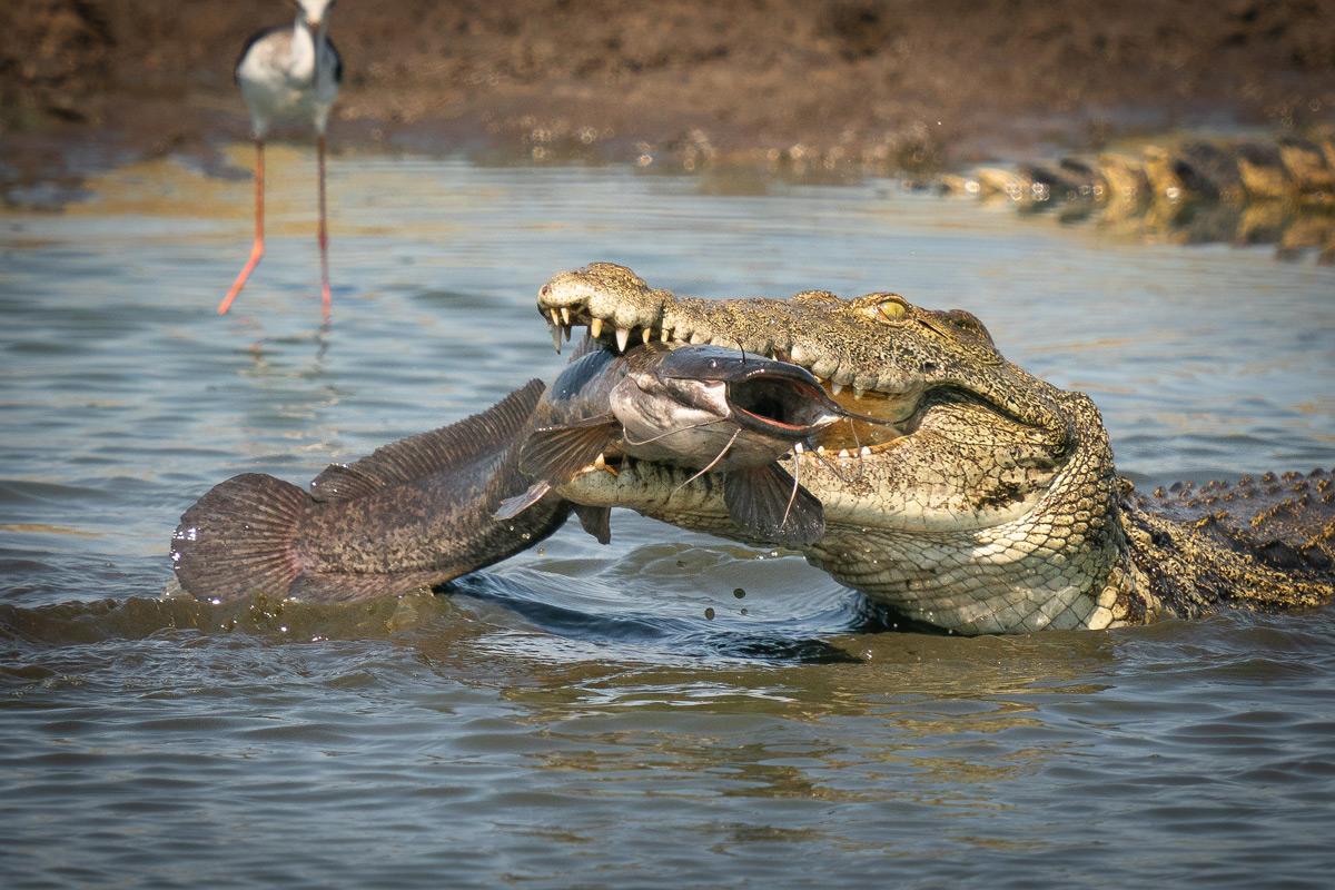 ANile crocodile catches a large catfish in Okavango Delta, Botswana © Tim Driman