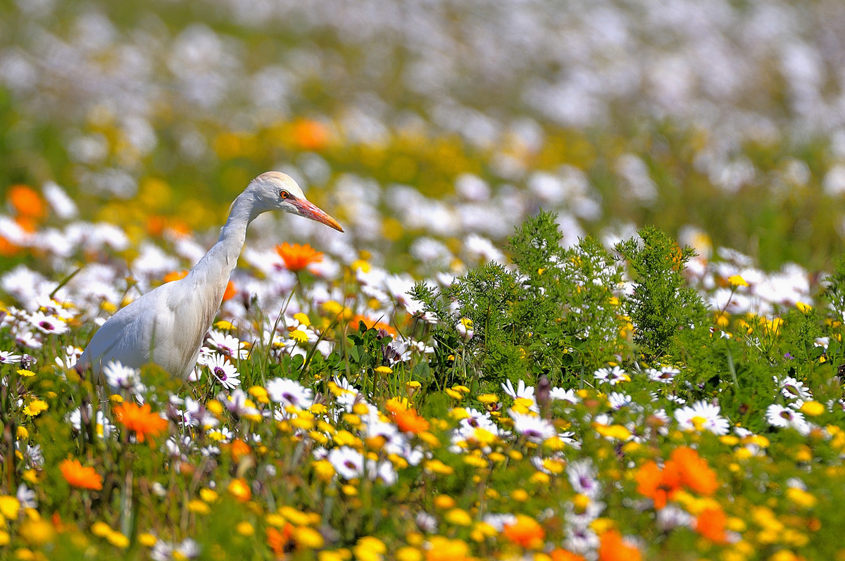 A cattle egret searches for prey amongst the flowering meadow in Namaqualand, South Africa © Vittorio Ricci