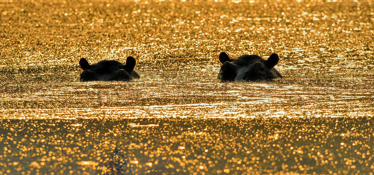 Hippos spotted at sunrise in Mana Pools National Park, Zimbabwe © Vittorio Ricci