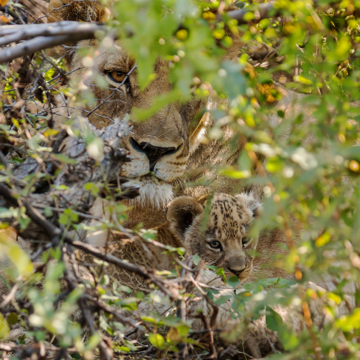 A glimpse of a lioness and her cub hiding deep within a bush in Madikwe Game Reserve, South Africa © Alan Smith