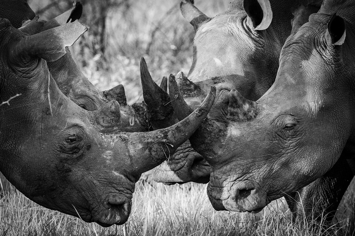 Four white rhinos meet for a morning catch up in a reserve in South Africa © Amanda Tatham
