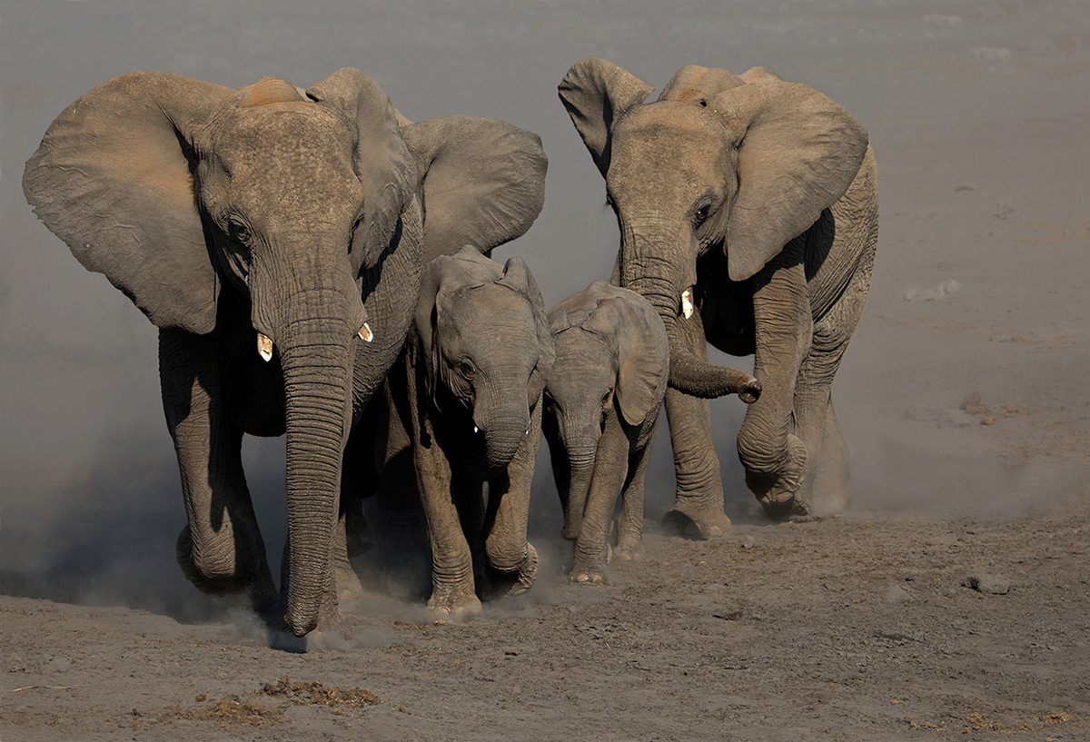 Elephants pick up the pace as they approach a waterhole in Etosha National Park, Namibia © André Ligthelm