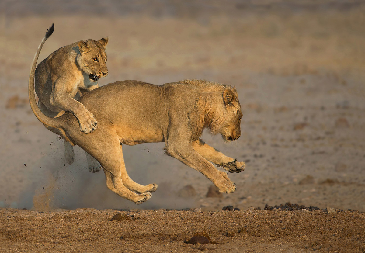 Lions play after an early morning drink at a waterhole in Etosha National Park, Namibia © André Ligthelm