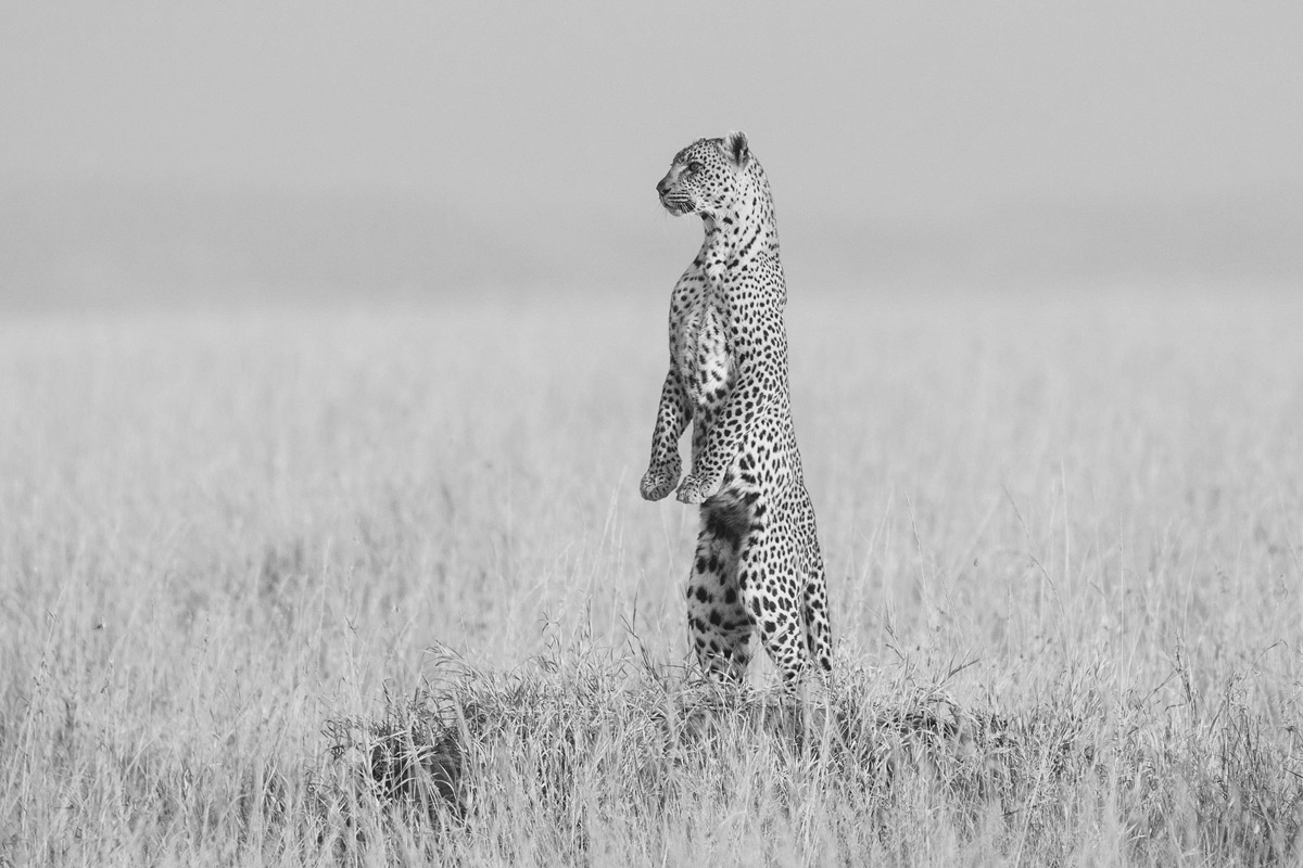 A mother leopard stands up on a mound calling for her cub who she'd left to go hunting in Serengeti National Park, Tanzania © Andrew Morgan