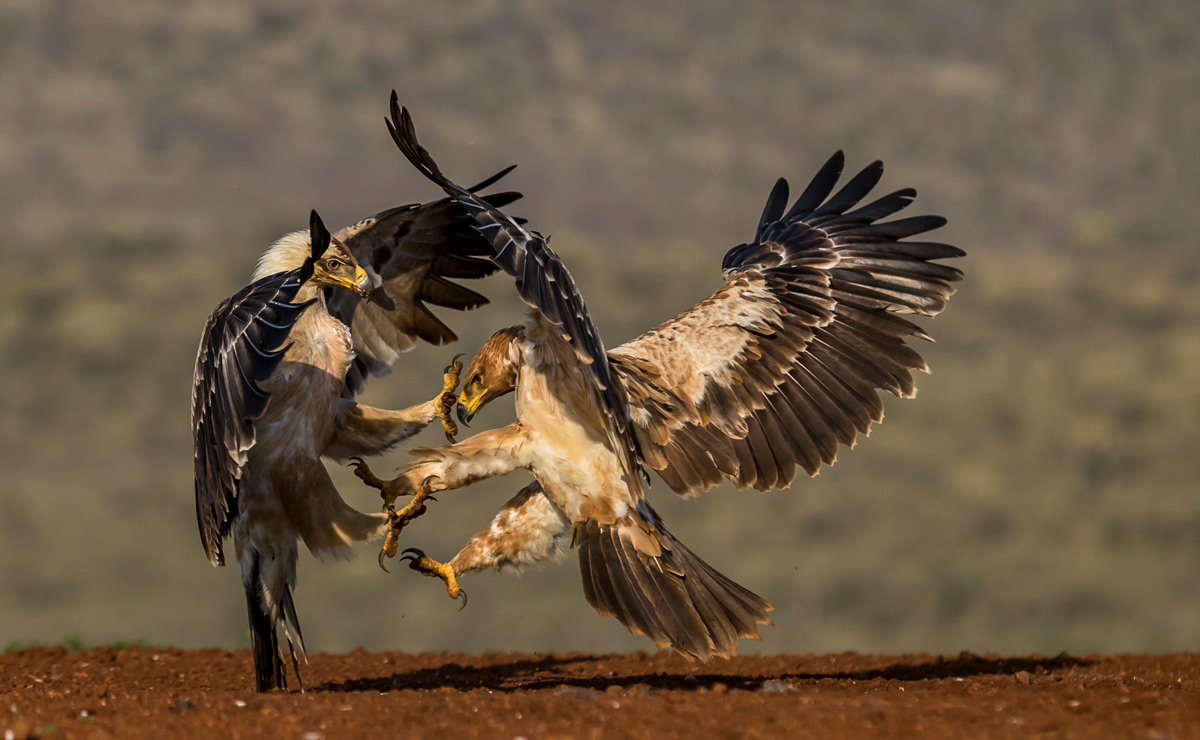 Tawny eagles clash in Zimanga Private Game Reserve, South Africa © Annemarie du Plessis