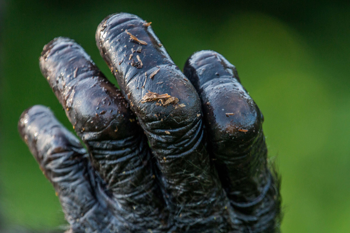 A close up of a chimpanzee's hand after a rain shower in Ngamba Island Chimpanzee Sanctuary, Uganda © Anthony Ochieng
