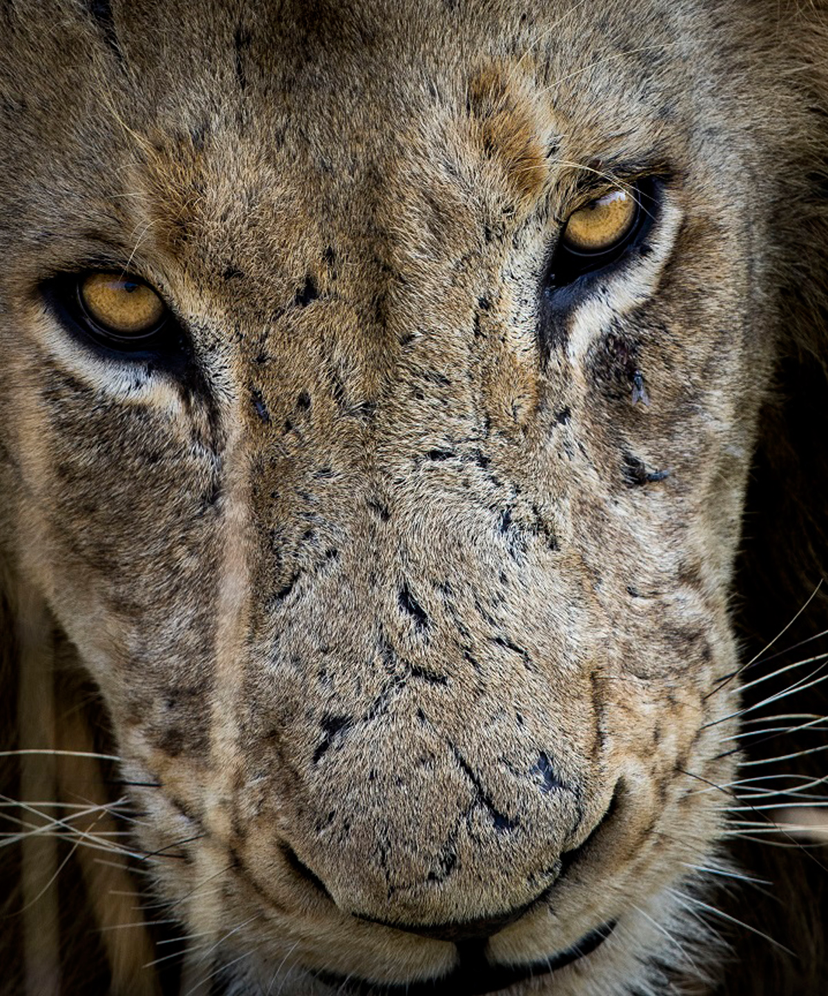 Lion portrait taken in Manyeleti Game Reserve, South Africa © Armand Grobler