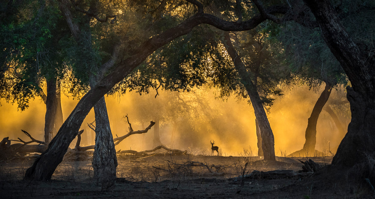Golden light in the 'blue forest' with an impala, Mana Pools National Park, Zimbabwe © Artur Stankiewicz