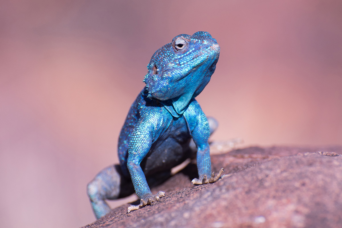 A blue agama enjoys the afternoon sun in Keetmanshoop, Namibia © Beata Bettaglio Spangenberg