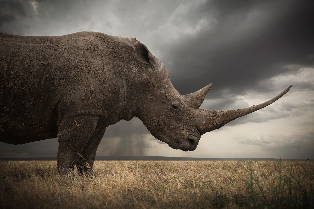 """The primordial"" – Marine, a giant white rhino with one of the longest horns around, somewhere in Africa © Björn Persson"