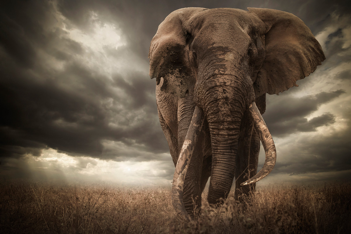"""""""Tim, one of Africa's biggest and most legendary elephants. He is one of the few remaining tuskers, with tusks going all the way to the ground."""" – Amboseli National Park, Kenya © Björn Persson"""