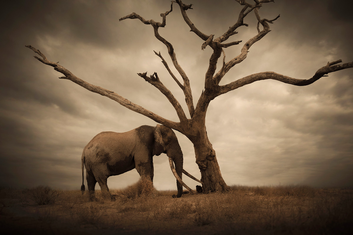 'An old tusker rubbing himself against a lonesome tree almost as if in comfort or consolation' – Amboseli National Park, Kenya © Björn Persson