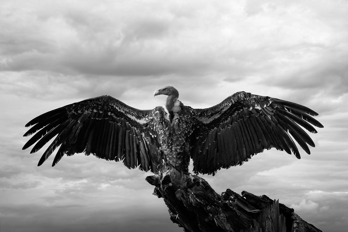 A beautiful vulture stretches out its wings in the sun for heat in Maasai Mara National Reserve, Kenya © Björn Persson