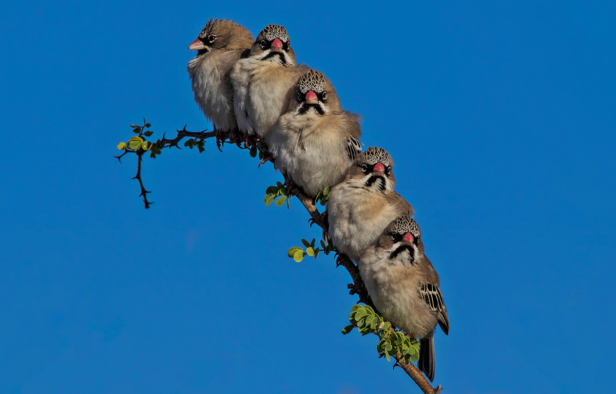 A branch of scaly-feathered finches in Kgalagadi Transfrontier Park, South Africa © Charmaine Joubert