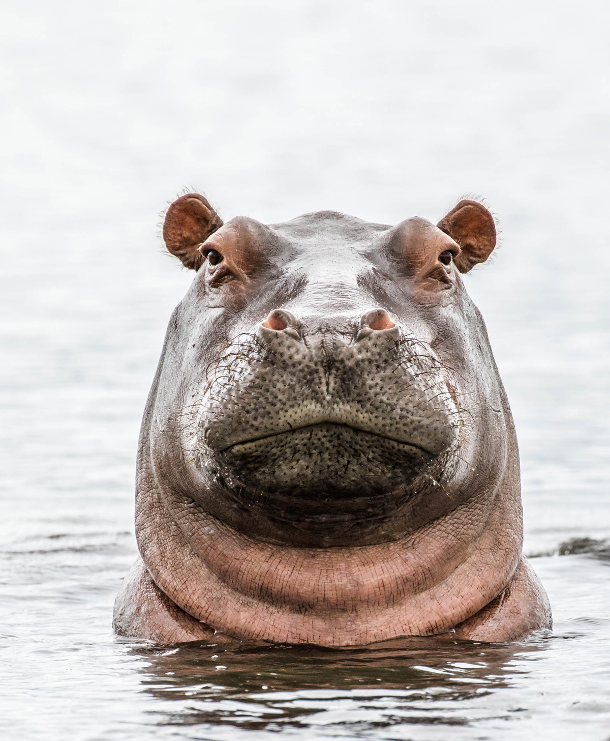 A hippo spotted in the Chobe River in Chobe National Park, Botswana © Cheryl Cranfield