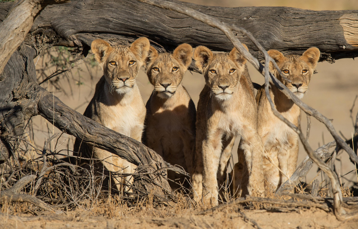 Lion cubs spotted in Kgalagadi Transfrontier Park, South Africa © Corlette Wessels