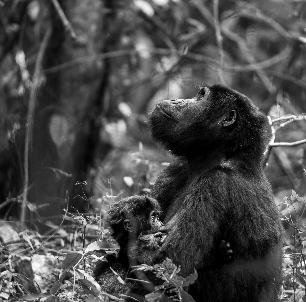'A moment of thought' – Bwindi Impenetrable National Park, Uganda © Dalida Innes