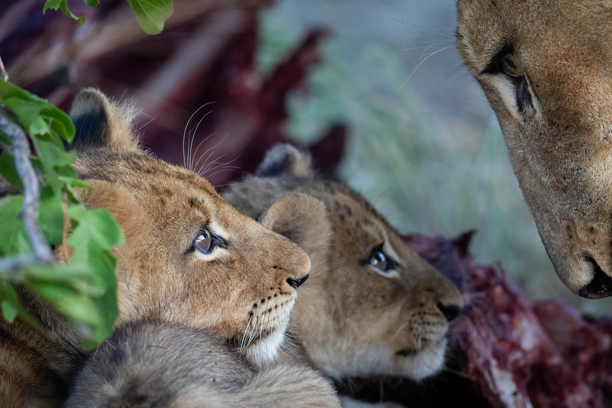 Lion cubs look up at their mother while at a wildebeest kill in Sabi Sands Private Game Reserve, South Africa © Daniel Koen