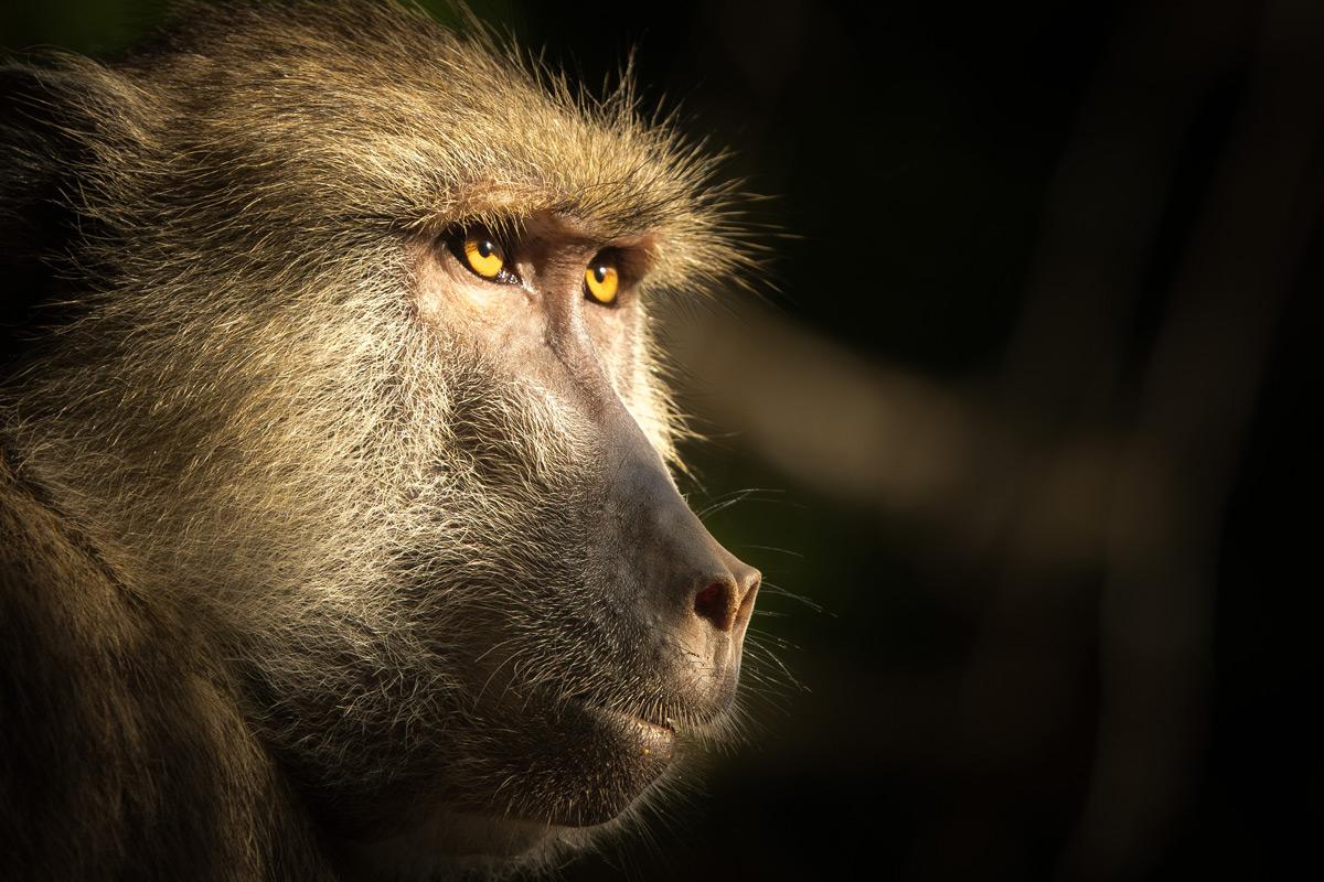 """Baboon eyes"" – Diani Beach, Kenya © Dori Hoffmann"