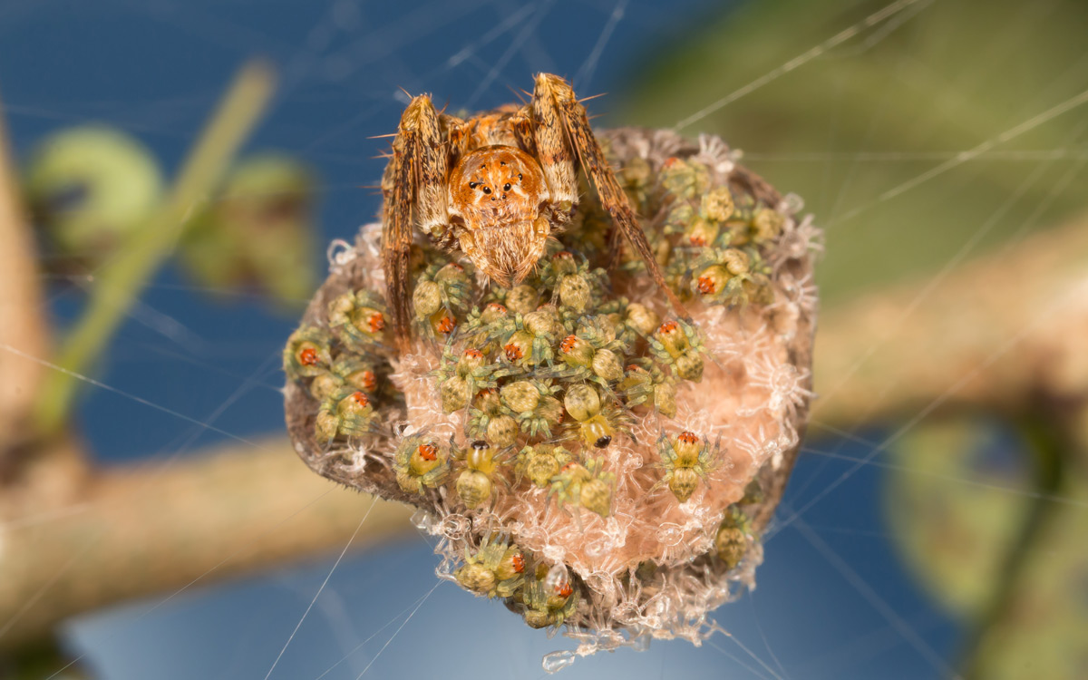 Lynx spider (Oxyopes schenkeli) guarding her spiderlings in Greater Kruger National Park, South Africa © Eraine van Schalkwyk