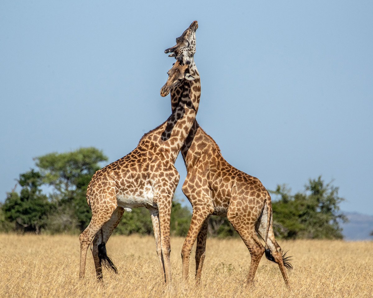 Giraffes fight for dominance in Serengeti National Park, Tanzania © Erin Long