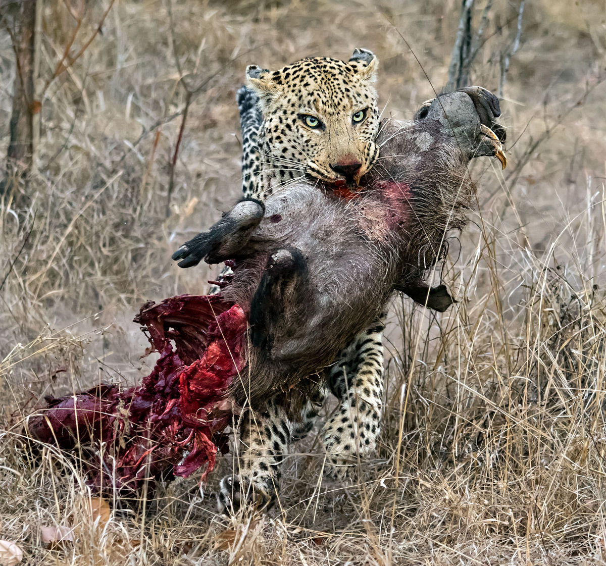 """This male leopard retrieved his warthog kill from a spotted hyena. Here he is running with the kill away from the hyena towards a tree."" – Kruger National Park, South Africa © Ernest Porter"