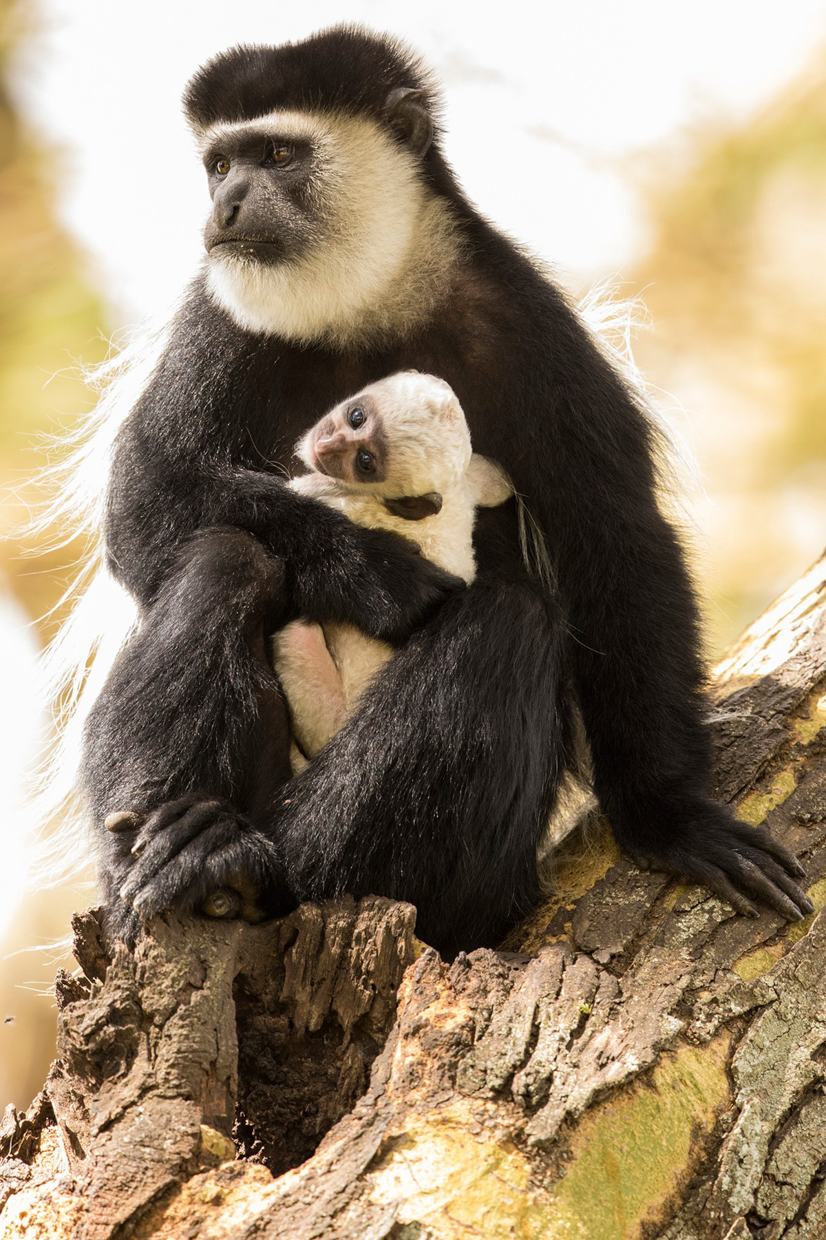 A black-and-white colobus monkey with its young (who are born white) in Naivasha, Nairobi © Faraaz Abdool