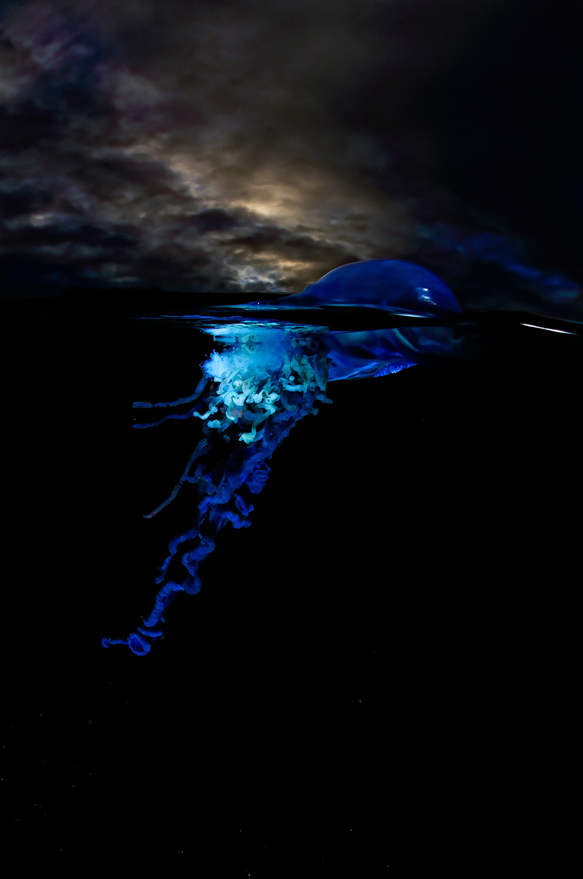 """Sailors from the deep – a Portuguese man-o'-war (Physalia utriculus) in the Atlantic Seaboard, Cape Town, South Africa © Geo Cloete"