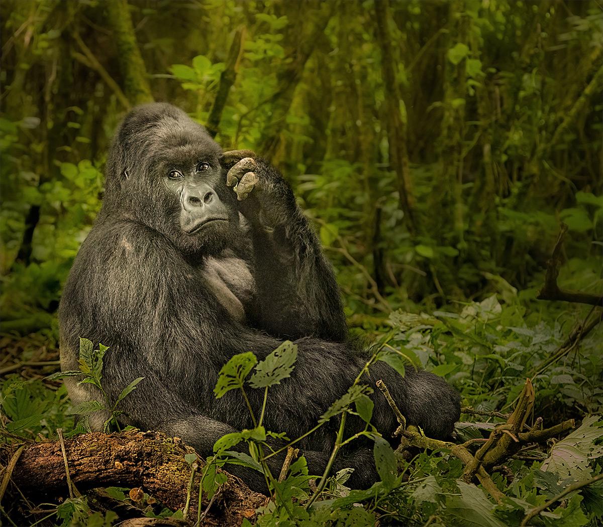 An impressive silverback mountain gorilla in Virunga National Park, Democratic Republic of the Congo © Hesté de Beer