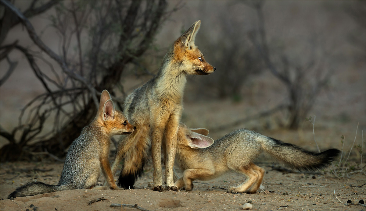 Juvenile Cape foxes suckle on their mother in Kalahari Gemsbok National Park, South Africa © Hesté de Beer