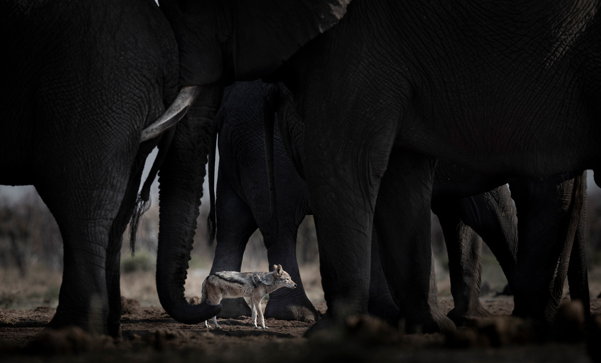 'Brave' – a black-backed jackal sneaks unobtrusively amongst sparring elephant bulls to catch an unsuspecting guineafowl at a waterhole in Savuti, Chobe National Park, Botswana © Jackie Badenhorst