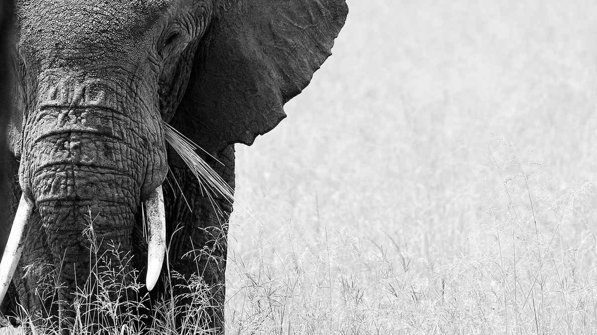 The matriarch leads the way while feeding in Serengeti National Park, Tanzania © Jaco Beukman