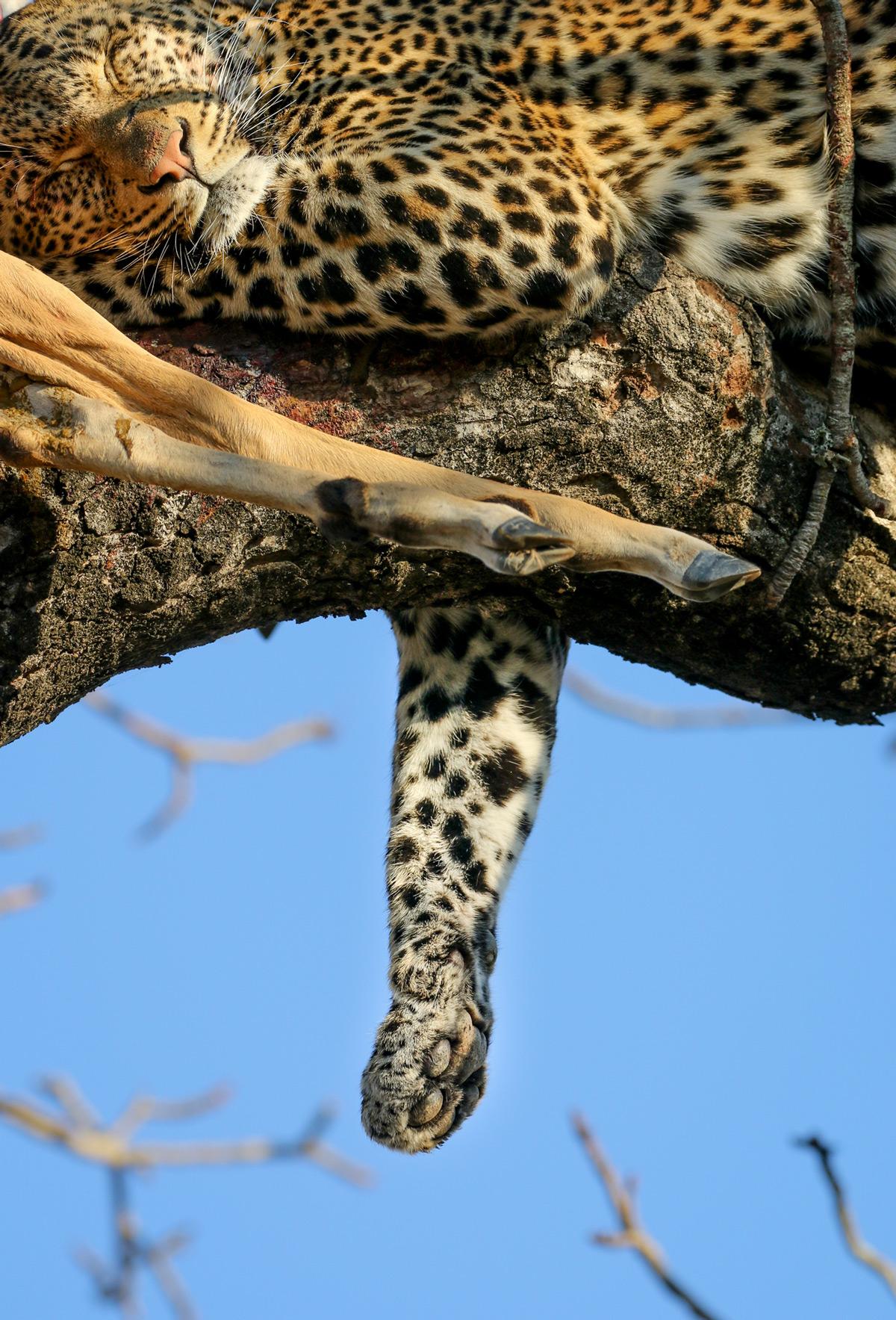 A leopard rests after eating in Kruger National Park, South Africa © Janine Malan