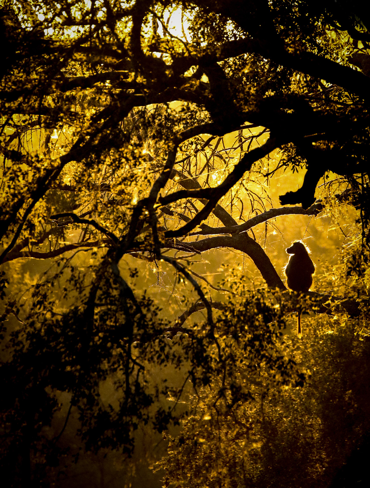 A baboon at sunset in Sabi Sands Private Game Reserve, South Africa © Janine Malan