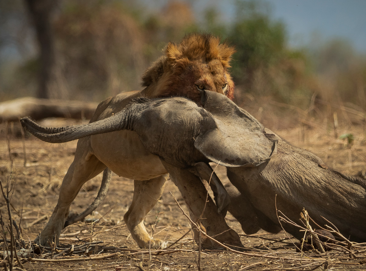 A lion drags an elephant calf under a tree to feed after it was killed by two lions the previous night, Mana Pools National Park, Zimbabwe © Jens Cullmann