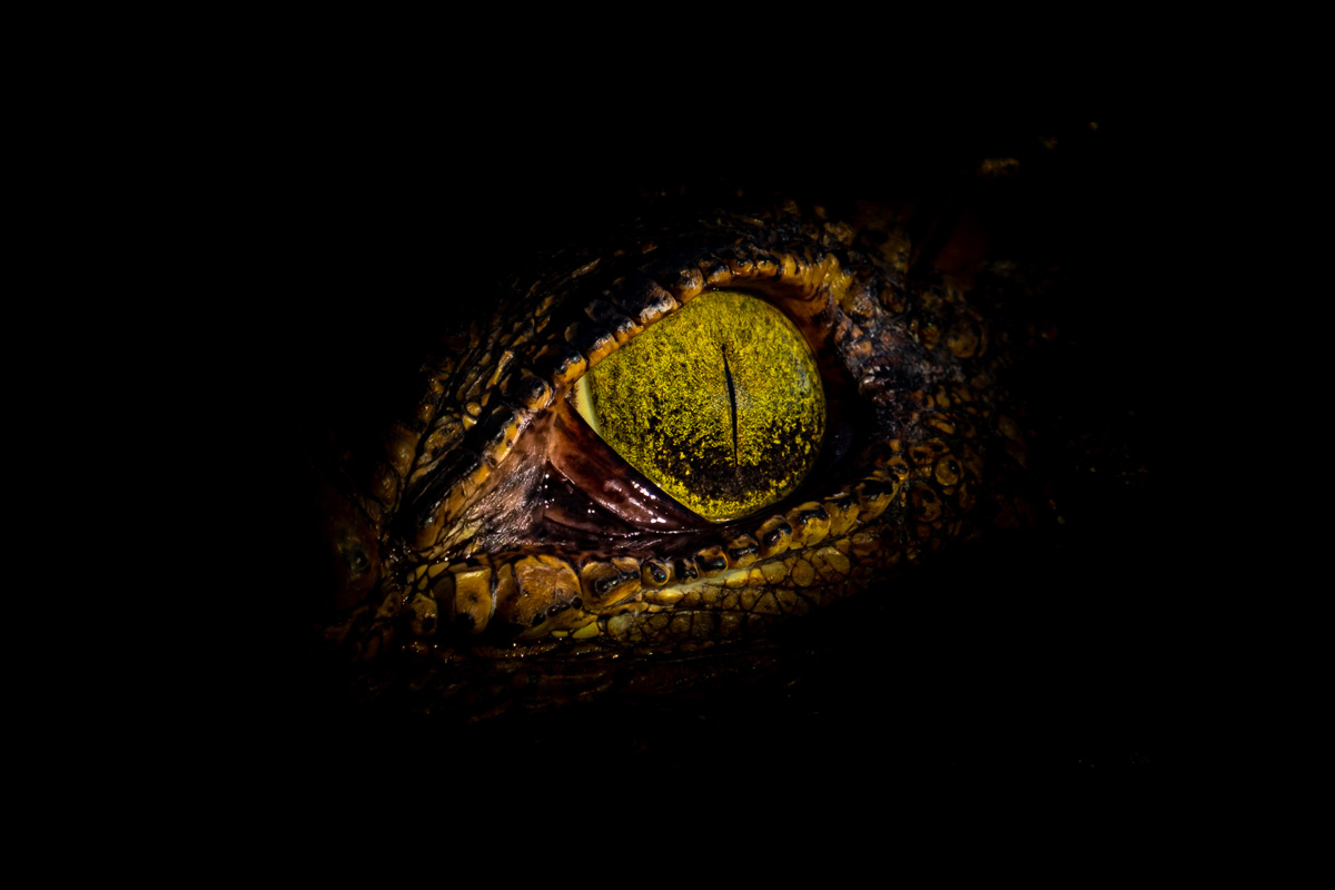 A close up underexposed image of a Nile crocodile in the Chobe River, Botswana © Joe Knapman