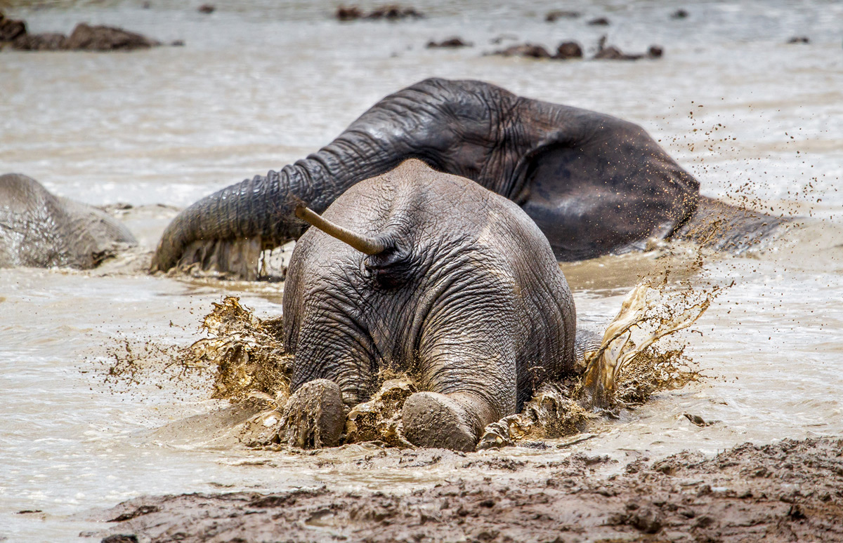 """""""In Africa things do not always go according to plan, even for the largest. This elephant misjudged the placement of the edge of this waterhole resulting in an unexpected but perfect and gracious dive into the water."""" – Addo Elephant National Park, South Africa © John Vosloo"""
