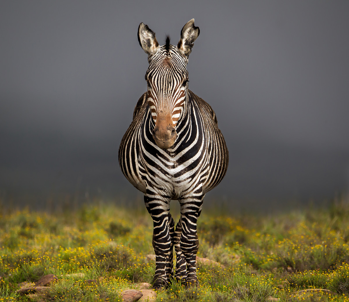 """Just a plain image of a mountain zebra which is part of a sustainable and large population in the Mountain Zebra National Park. The reason I took the image was to capture and celebrate how they (as a species) were brought from the brink of extinction to a thriving population today."" – Mountain Zebra National Park, South Africa © John Vosloo"