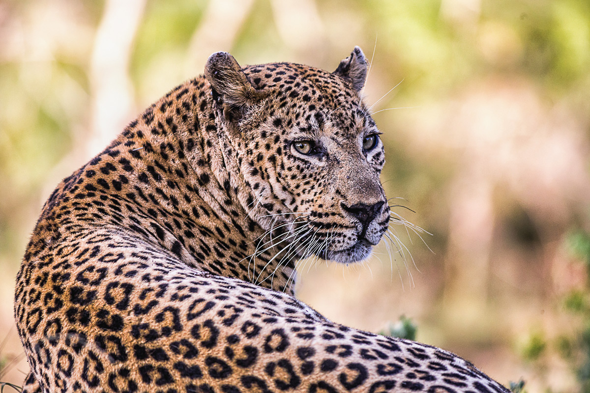 The majestic leopard Maxabeni in Sabi Sands Private Game Reserve, South Africa © Joni Munsterteiger
