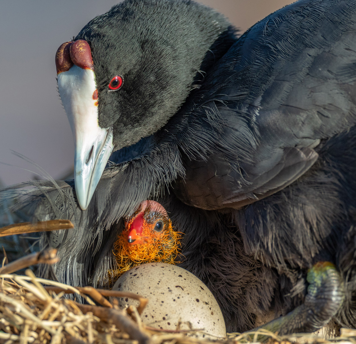 A female coot tends to her newly hatched chick, while watching over the sibling trying to break out of its shell at Zibulu Colliery Hides, South Africa © Karen Blackwood